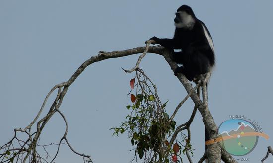 colobus rwenzori